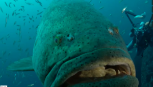 Someone else's close encounter with a Goliath Grouper (courtesy of Vimeo).